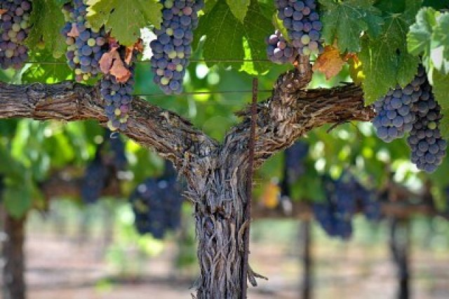 grapes-on-the-y-vine